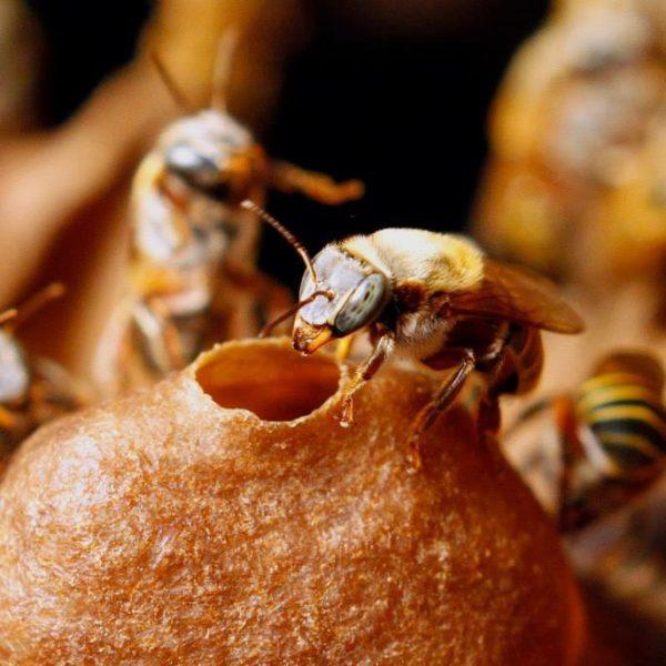 Melipona bee honey