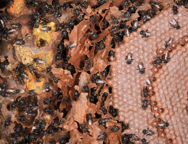Melipona Honey Bee