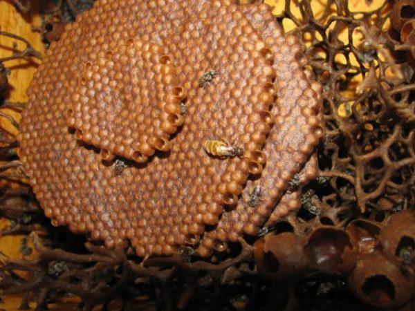 Melipona Stingless Bee Drops