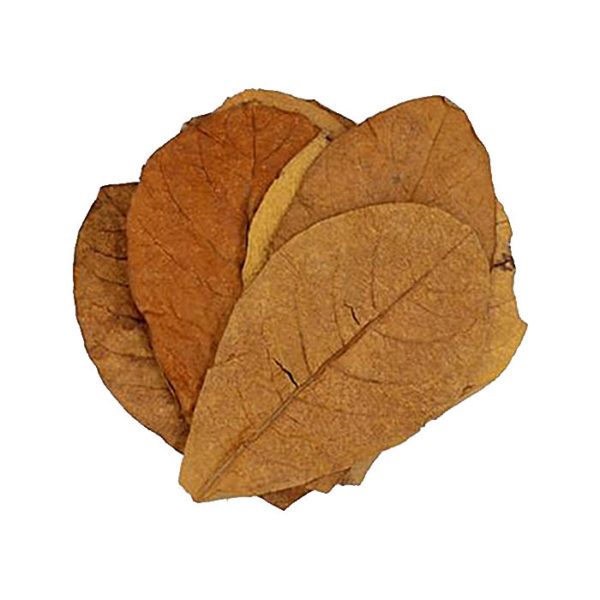 INDIAN ALMOND LEAVE CATAPPA