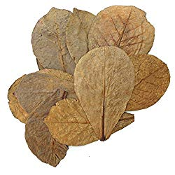 indian almon leaves